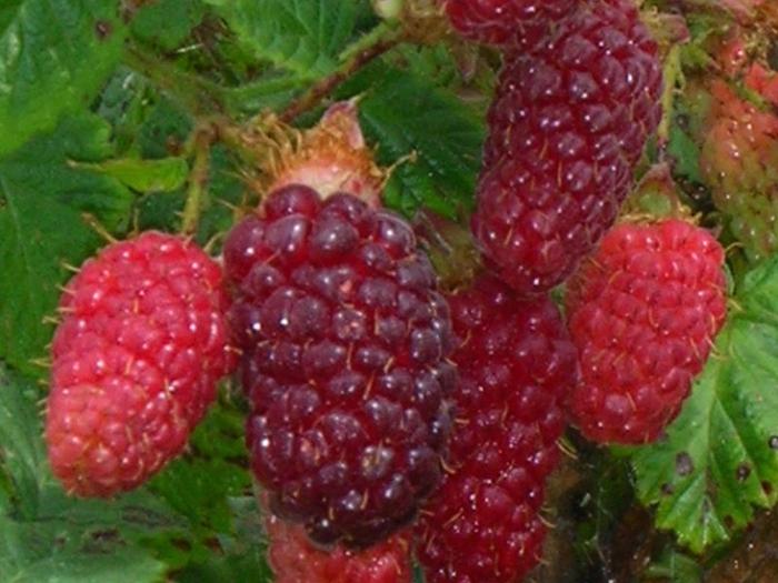 Rubus_Medana (700x525, 391Kb)