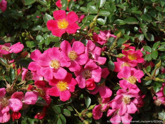 rosa2 (700x525, 265Kb)