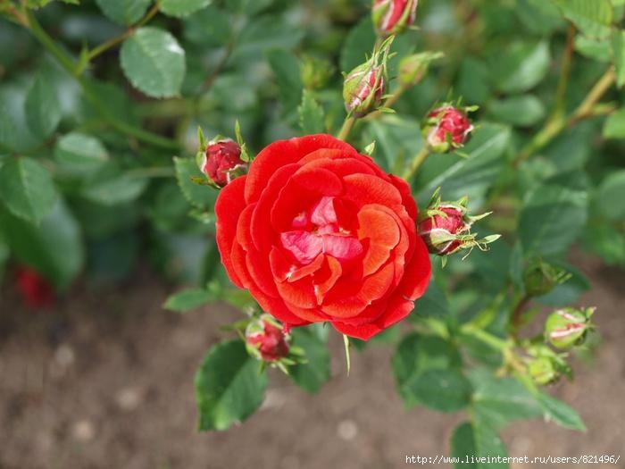 rosa4 (700x525, 175Kb)