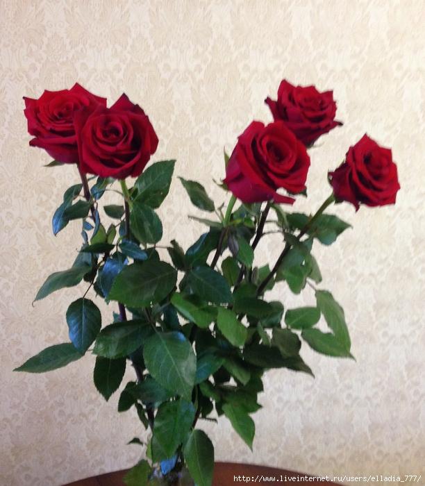 Розы от мужа на 5 годовщину свадьбы (612x700, 331Kb)
