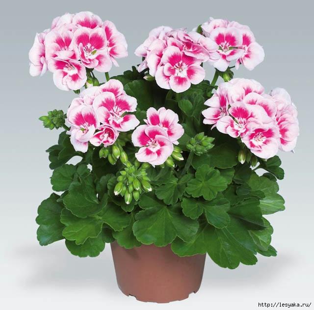 125759721_3925073_Pelargonium_Zonale_pac_Flower_Fairy_White_Splash[1] (640x632, 283Kb)