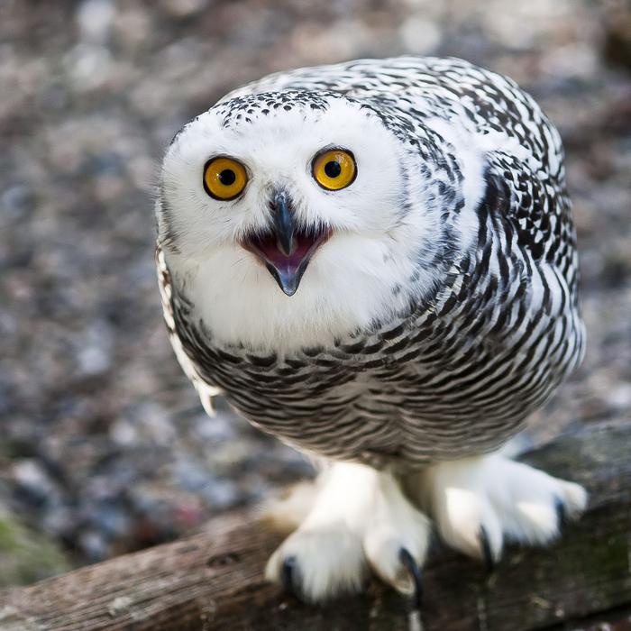 owls15 (700x700, 481Kb)