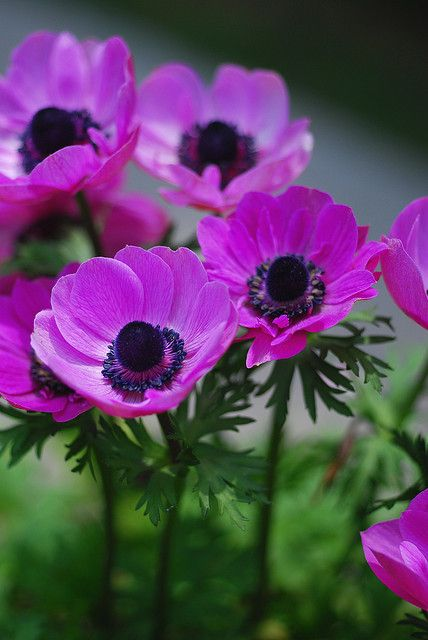 anemone p (428x640, 44Kb)