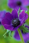 Превью k-anemone lila (434x640, 207Kb)