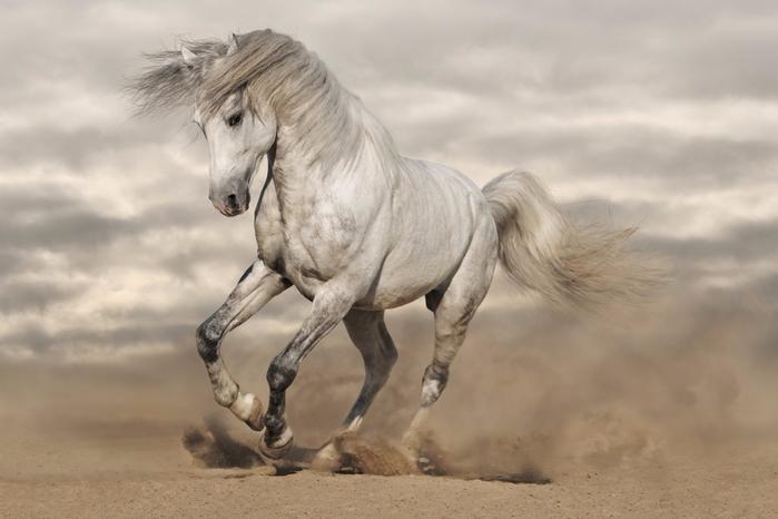 white_horse_wallpaper_21-1024x683 (700x466, 208Kb)