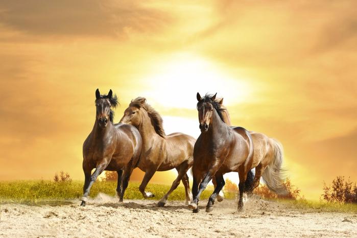 wild_horses_appaloosa_mustangs_desktop_war_hd-wallpaper-1662254-1024x683 (700x466, 300Kb)