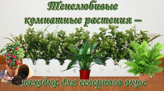 комнатные тенелюбивые растения фото и названия