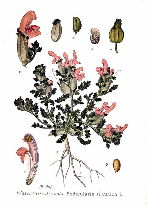 248_Pedicularis_silvatica_L (492x700, 221Kb)