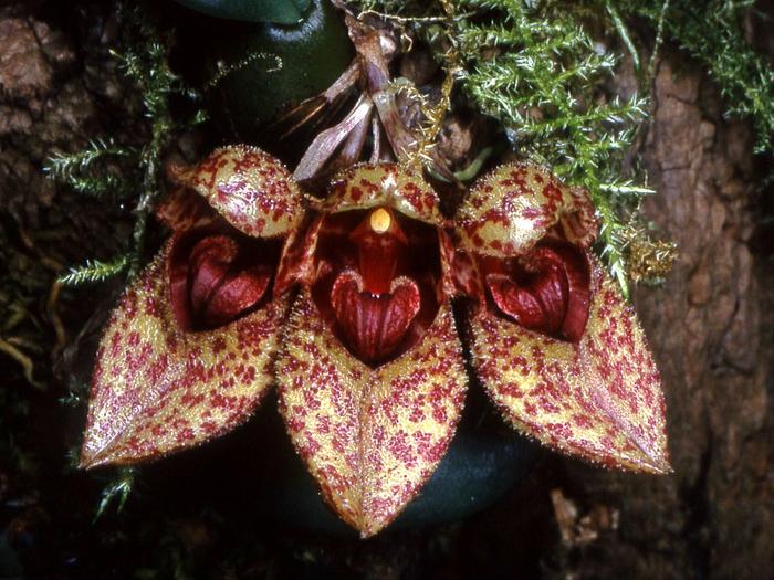 Bulbophyllum_frostii_Orchi_21 (700x525, 509Kb)