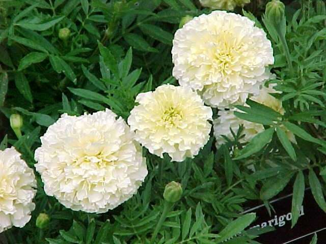 Tagetes%20erecta%20Sweet%20Cream (640x480, 43Kb)