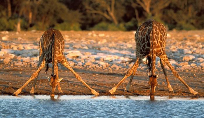 Детеныш леопарда и верблюда: 15 забавных фактов о жирафах