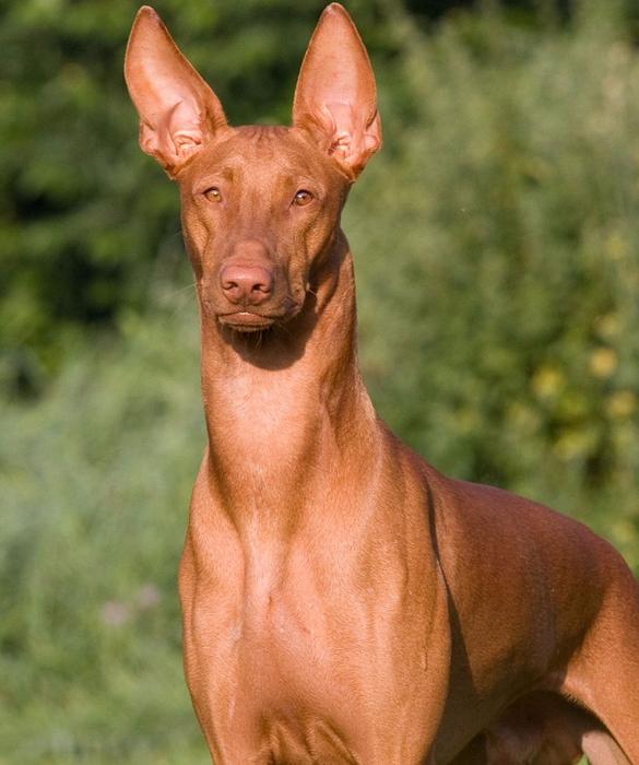 3. Фараонова собака (585x700, 395Kb)