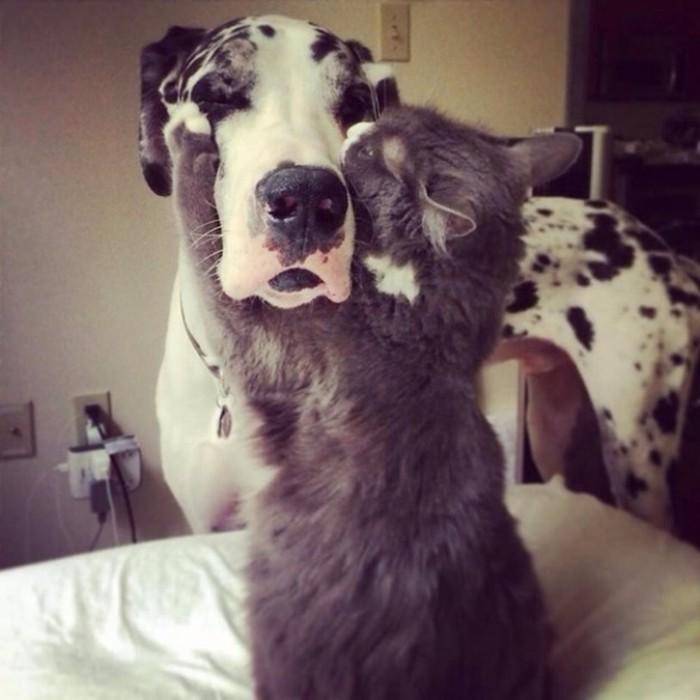 Запретная любовь! Фото 20 котов, которые по уши втрескались в собак