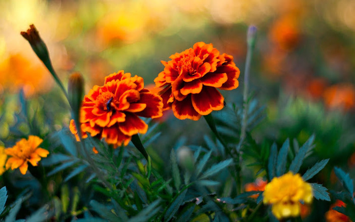 5152557_flower_pair1920x12005B25D (700x437, 111Kb)