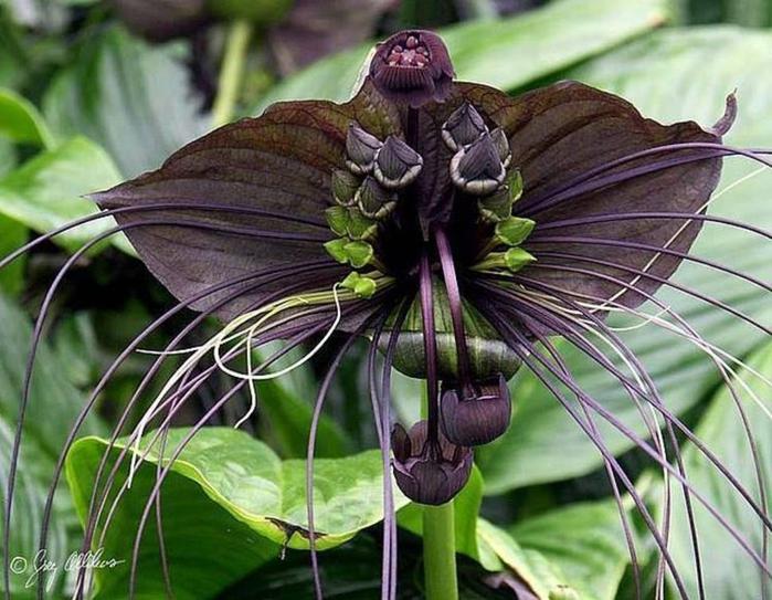 самые редкие цветы летучая мышь