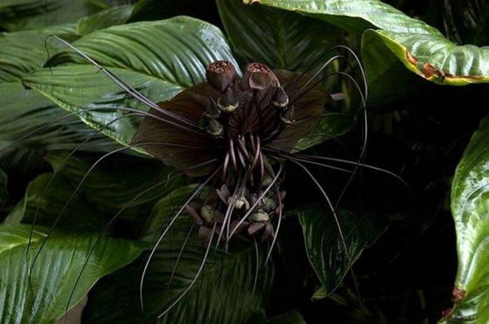 черная орхидея Китайский мышецвет