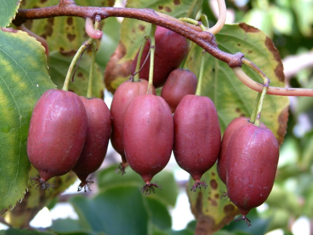 kiwi-purpurea1 (628x471, 233Kb)