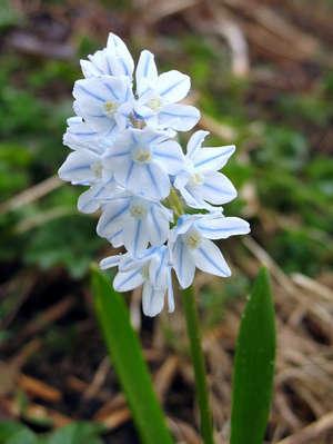 cvety-pushkinii (300x399, 76Kb)