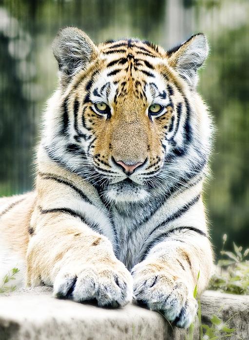 tiger-1367197_960_720[1] (511x700, 436Kb)