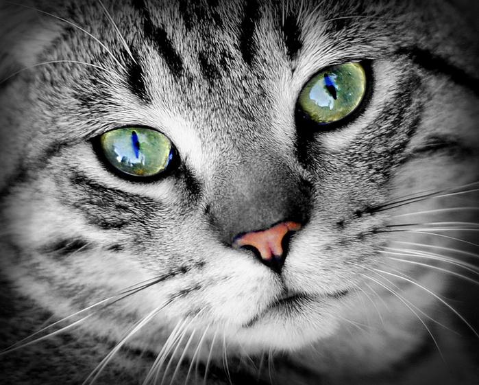 cat-686803_960_720[1] (700x561, 290Kb)