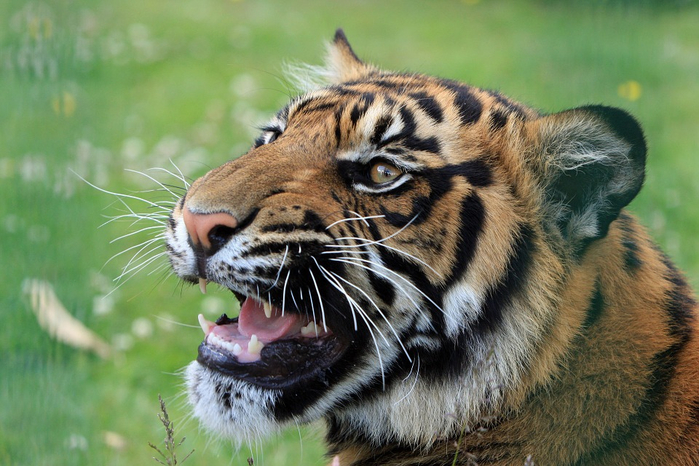 tiger-165039_960_720[1] (700x466, 382Kb)
