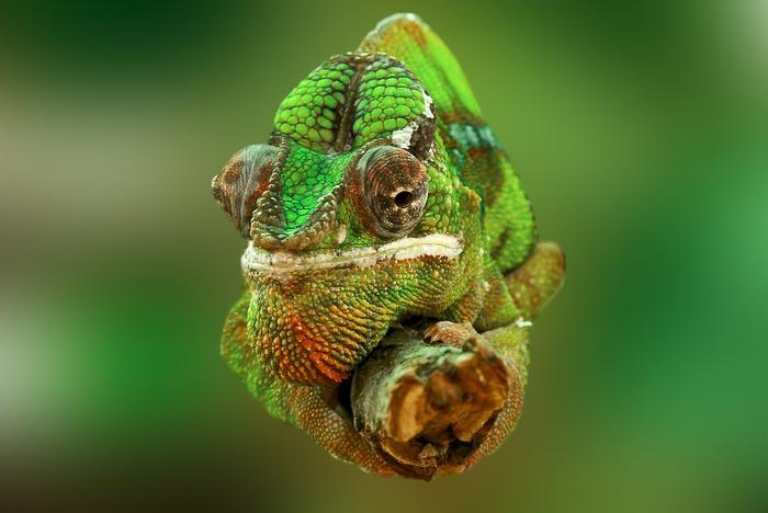 chameleon-540655_960_720[1] (700x468, 246Kb)