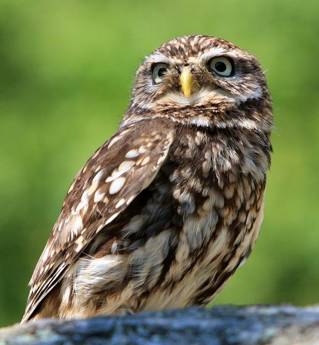 owl-77894_960_720[1] (646x700, 456Kb)