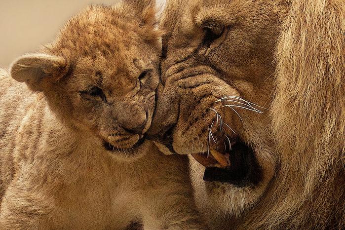 lion-565818_960_720[1] (700x466, 517Kb)