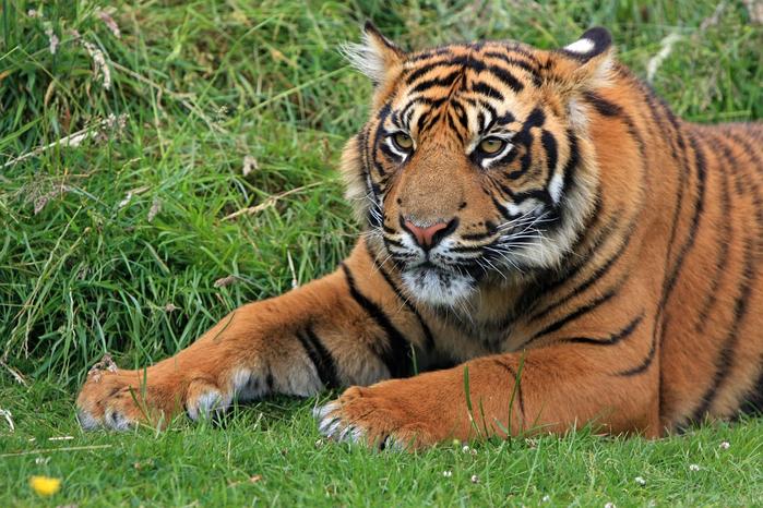 tiger-164905_960_720[1] (700x466, 484Kb)