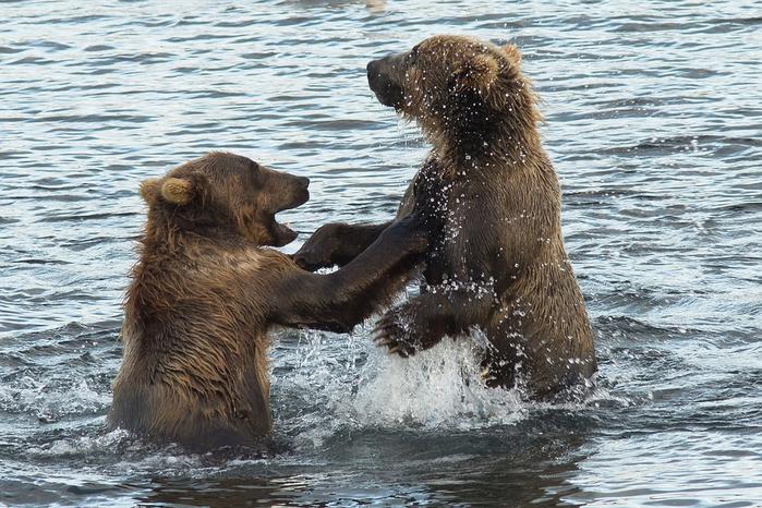 kodiak-brown-bears-1574997_960_720[1] (700x466, 437Kb)