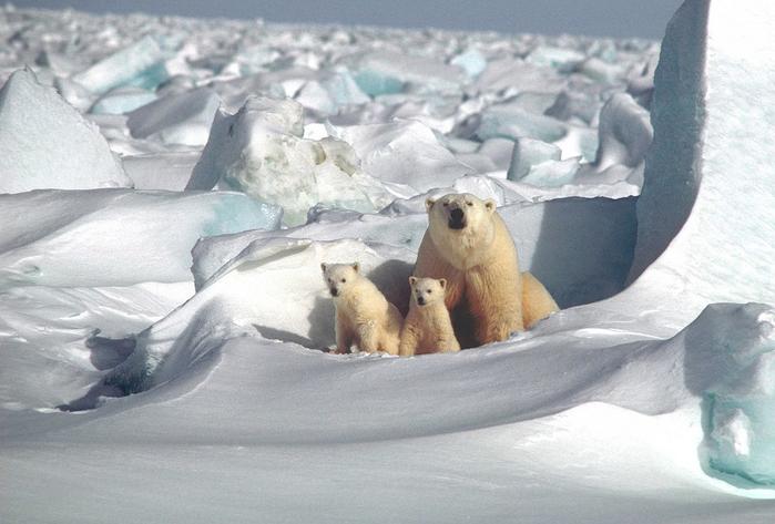 polar-bear-1509103_960_720[1] (700x473, 319Kb)