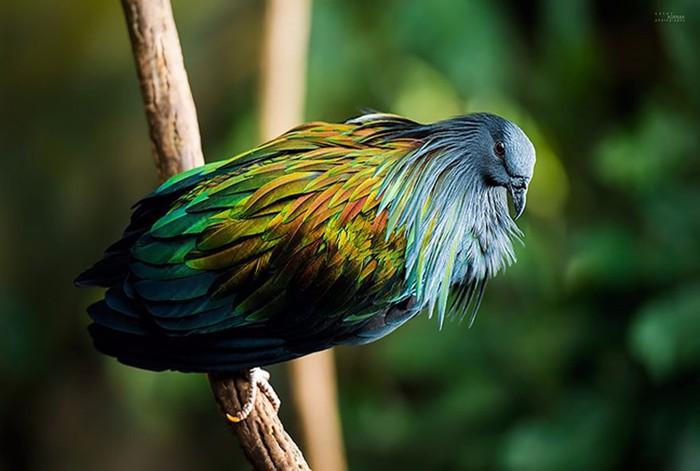 Никобарский голубь красавчик!