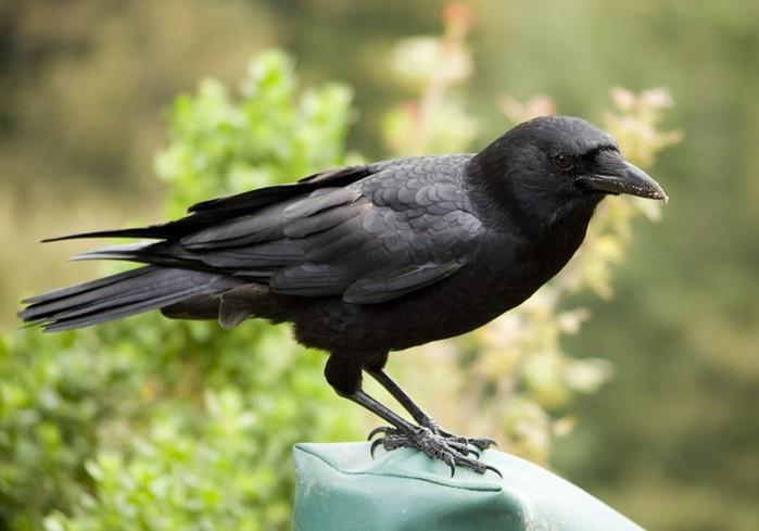 Самые необычные факты о воронах, которые вы никогда не знали! Плюс фото ворон