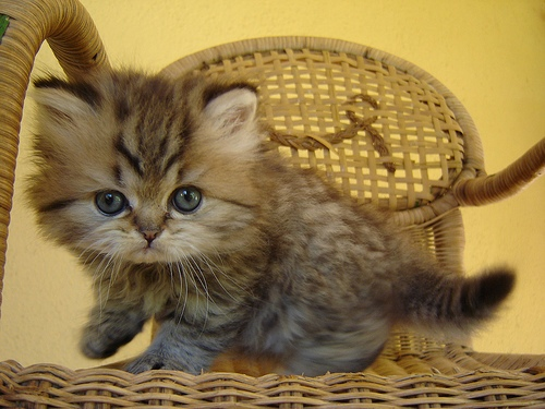 persian-cat-13 (500x375, 94Kb)