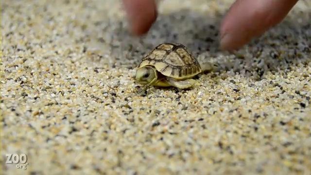 Малыши египетских черепах (видео)