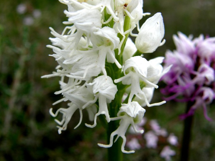 Orchis_simia (700x525, 70Kb)