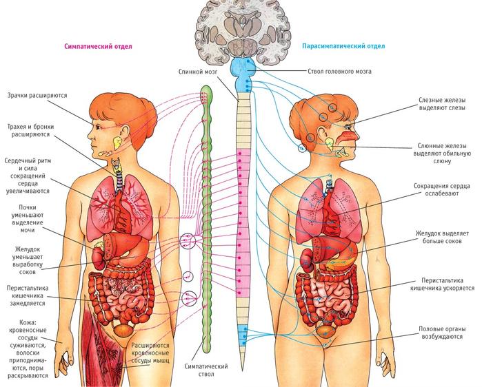 нервная система 1 (700x562, 392Kb)