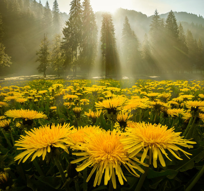 morning_glory_by_borda-da52cl3 (700x656, 159Kb)