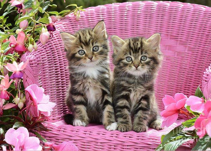 tabby-kittens-greg-cuddiford (700x500, 493Kb)
