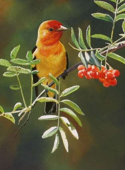 330442-western-tanager-8-x-10 (436x589, 43Kb)