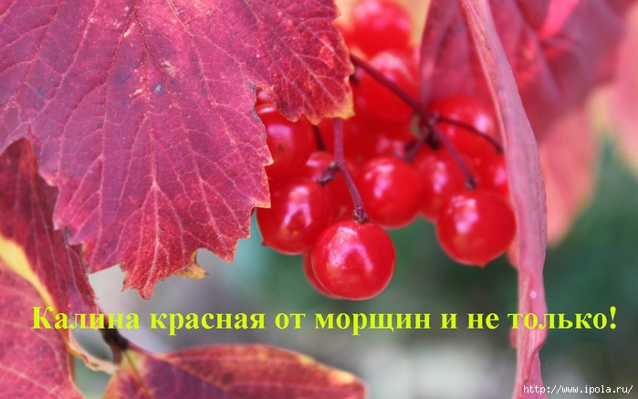 "alt=""Калина красная от морщин и не только!""/2835299_Kalina_krasnaya_ot_morshin_i_ne_tolko (700x437, 218Kb)"