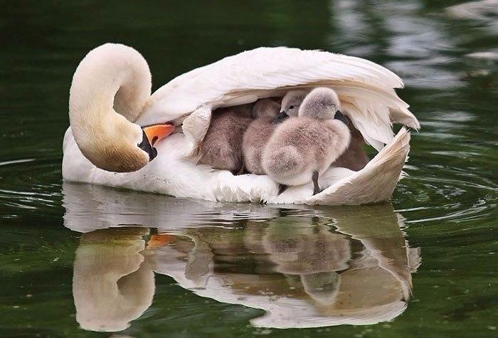 Птицы, которые заботятся о своём потомстве (700x475, 250Kb)