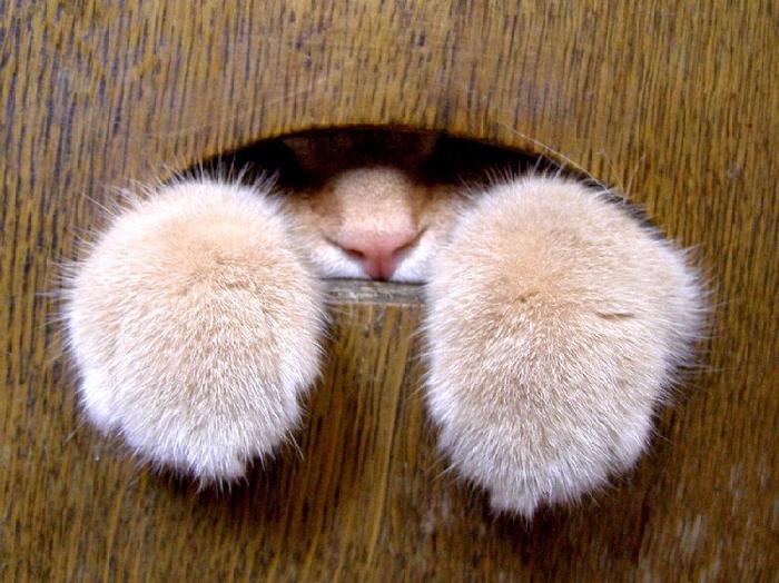 кошачьи лапы фото 1 (700x524, 451Kb)