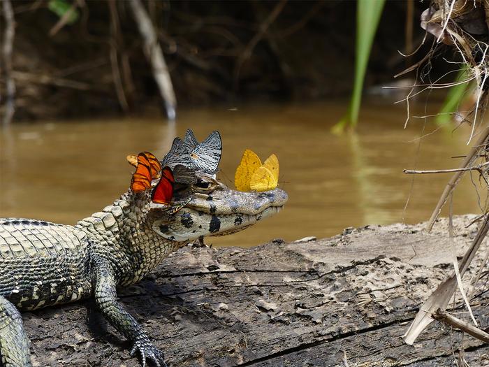 крокодил с бабочками1 (700x525, 504Kb)