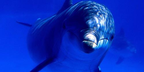 дельфин (500x250, 101Kb)