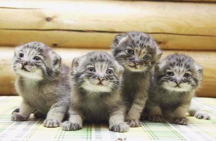 Котята манула - милые манулята (700x456, 256Kb)