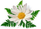 camomile_PNG672-170x119 (170x119, 33Kb)