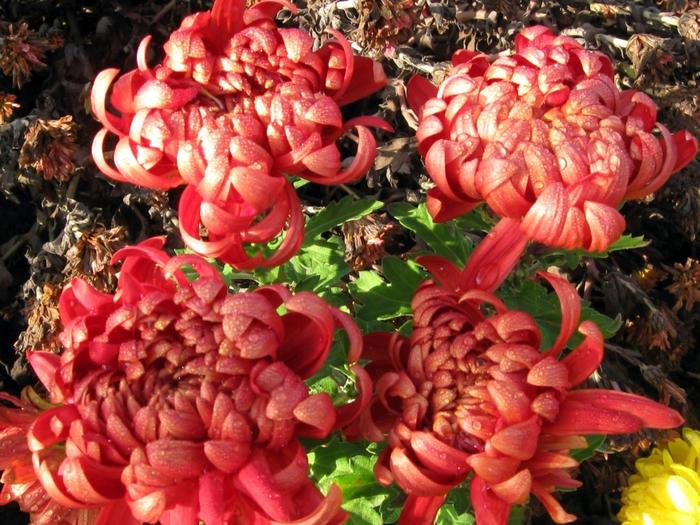 2714816_Chrysanthemums_Closeup_457892 (700x525, 355Kb)