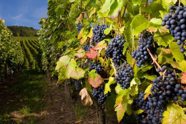 3303834_vinogradnik (600x400, 46Kb)