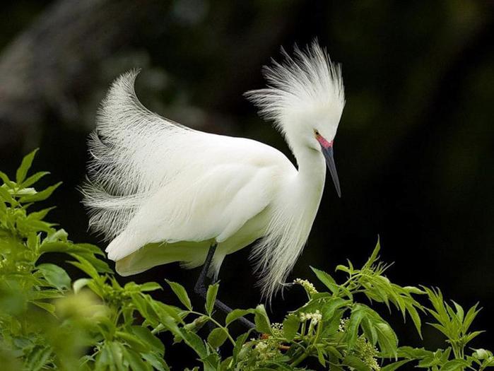 grande egret branco